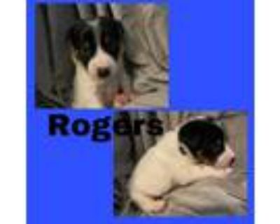 Adopt Rodgers a White - with Black Border Collie dog in oklahoma city