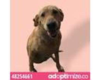 Adopt 48254661 a Brown/Chocolate Labrador Retriever / Mixed dog in El Paso