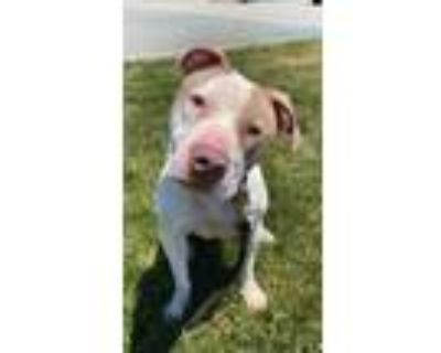 Adopt Halsey a White American Pit Bull Terrier / Mixed dog in Newport News