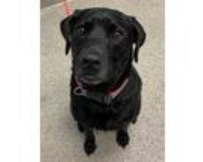 Adopt Mochi a Black Labrador Retriever / Mixed dog in Noblesville, IN (31425607)