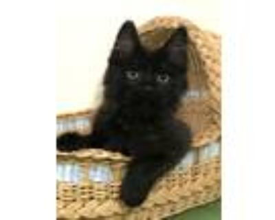 Adopt Espresso a All Black Domestic Longhair (long coat) cat in Manitou Springs