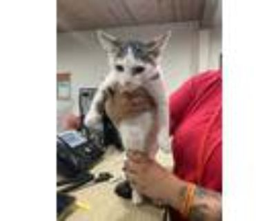 Adopt Roland a Gray or Blue Domestic Shorthair / Domestic Shorthair / Mixed cat