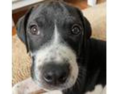Adopt Draco a Black Border Collie / Pit Bull Terrier / Mixed dog in Shawnee