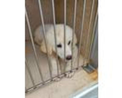 Adopt Penny a Great Pyrenees / Mixed dog in LAFAYETTE, LA (31412364)