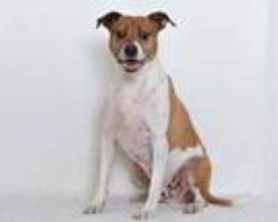 Adopt SMOKEY a Pit Bull Terrier, Mixed Breed