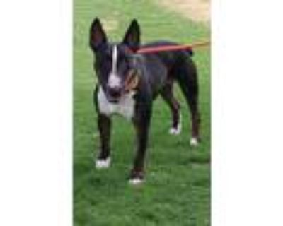 Adopt PORK CHOP a Black - with White Bull Terrier / Mixed dog in Palm Desert