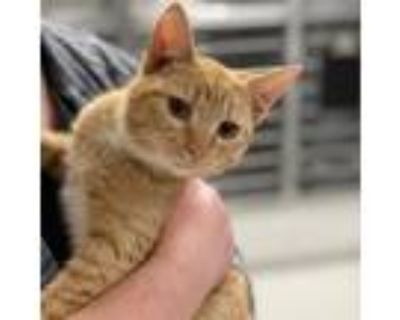 Adopt Phoenix a Orange or Red Domestic Shorthair / Domestic Shorthair / Mixed