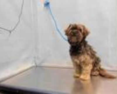 Adopt LADY a Black - with Tan, Yellow or Fawn Cocker Spaniel / Poodle