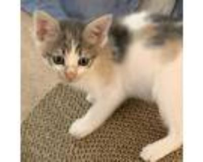 Adopt Virgo a Calico or Dilute Calico Domestic Shorthair / Mixed cat in Newport