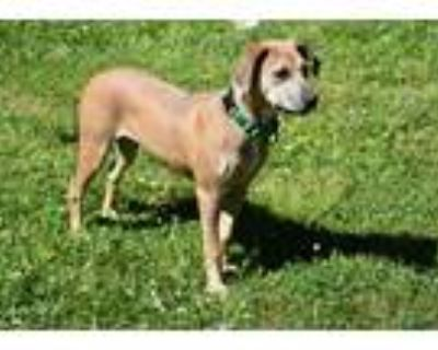 Adopt Grace a Tan/Yellow/Fawn Hound (Unknown Type) / Shepherd (Unknown Type) dog