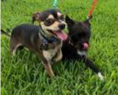 Adopt Donald and Daisy a Jack Russell Terrier