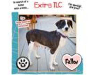 Adopt Fallon 042421 (Mom to Cars Pups) a Brindle - with White Pointer dog in
