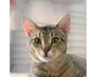 Adopt Jefferson a Brown Tabby Domestic Shorthair / Mixed cat in Palatine
