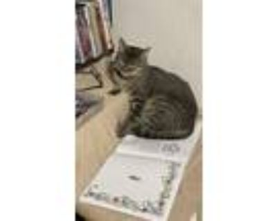 Adopt Ashelee a Brown Tabby American Shorthair / Mixed (short coat) cat in