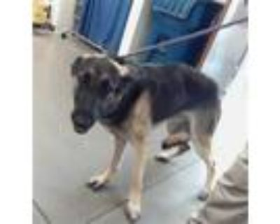 Adopt BRUCE LEE a Black - with Tan, Yellow or Fawn German Shepherd Dog / Mixed