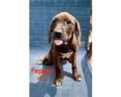 Adopt PEPPER TALBOT-A PRISSY P PUP a Hound, Mixed Breed