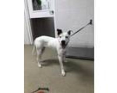 Adopt Patches a White American Staffordshire Terrier / American Pit Bull Terrier