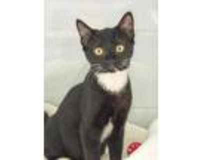 Adopt Snape a All Black Domestic Shorthair / Domestic Shorthair / Mixed cat in