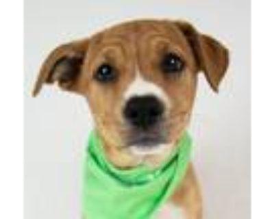 Foxtrot, Labrador Retriever For Adoption In Kennesaw, Georgia