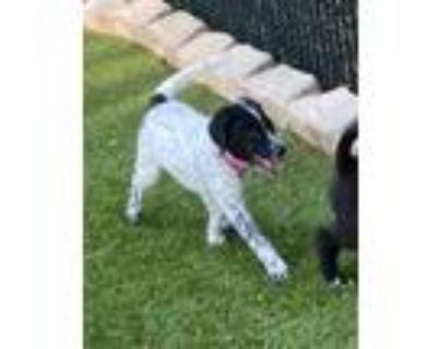 Adopt Lucy a Labrador Retriever, Australian Cattle Dog / Blue Heeler