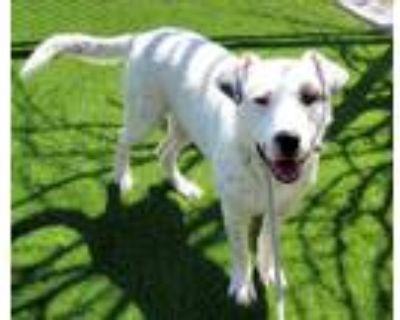 Adopt SPLASH a German Shepherd Dog, Mixed Breed