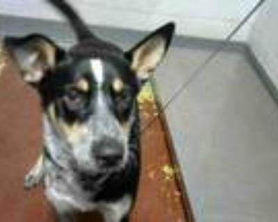 Adopt ROCKO a Australian Cattle Dog / Blue Heeler