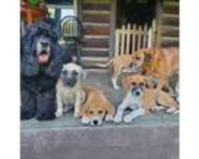 Adopt Dawn Boulder a Weimaraner, Yellow Labrador Retriever
