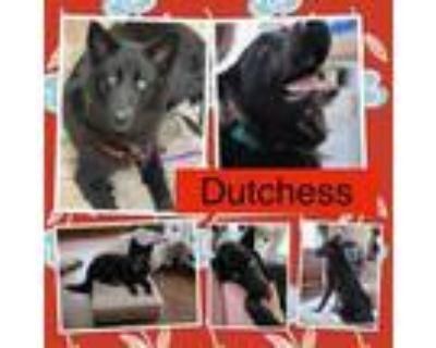 Adopt Duchess a Black Australian Shepherd / Mixed dog in El Dorado