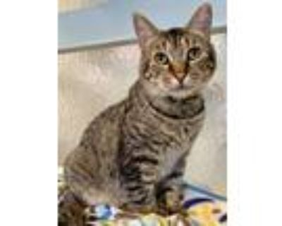 Adopt Tyson a Brown Tabby Domestic Shorthair / Mixed (short coat) cat in Redwood
