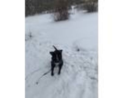 Adopt Fiji a Black - with White American Pit Bull Terrier / Mixed dog in