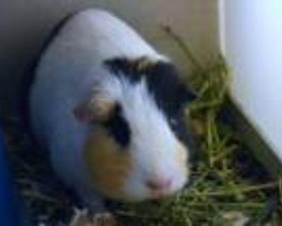 Adopt MINA a Guinea Pig