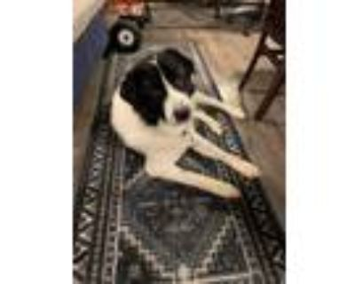 Adopt Ross a White - with Black Great Pyrenees / Australian Shepherd / Mixed dog