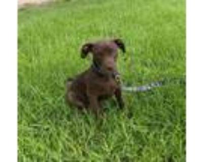 Adopt Philamina a Labrador Retriever