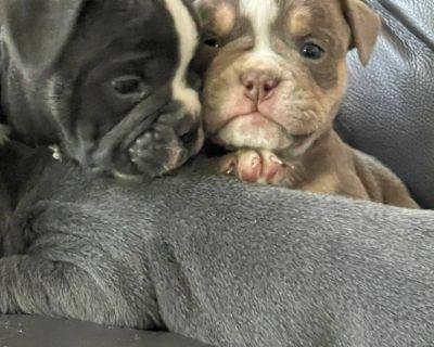 Olde English Bulldog Puppies