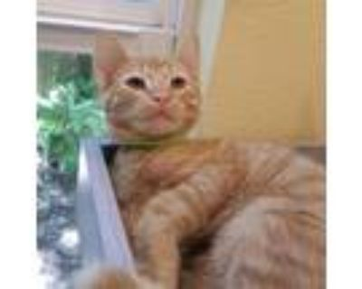 Adopt Fergus a Orange or Red Domestic Shorthair / Mixed cat in Folsom