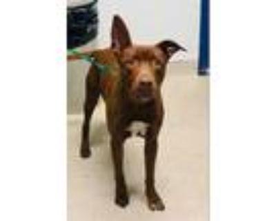 Adopt *SIMON a Brown/Chocolate Labrador Retriever / Mixed dog in Bakersfield