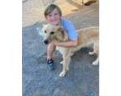 Adopt Goldie a Golden Retriever, Collie