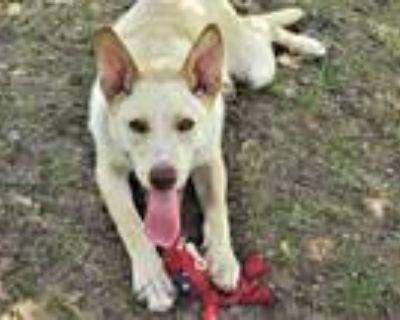 Adopt Sprite a Tan/Yellow/Fawn - with White Shepherd (Unknown Type) / Retriever