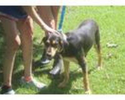 Adopt Joe a Black - with Brown, Red, Golden, Orange or Chestnut German Shepherd