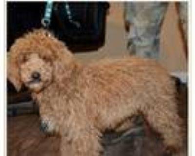Adopt Milo a Poodle