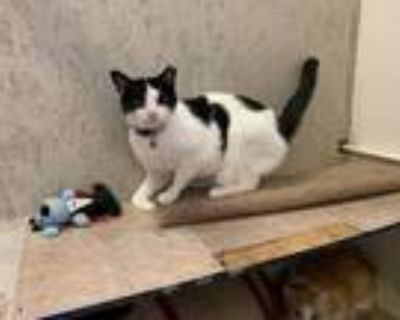 Adopt Marco a Domestic Shorthair / Mixed (short coat) cat in St.