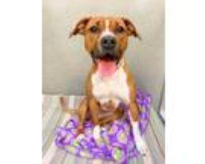 Adopt Ellie a Red/Golden/Orange/Chestnut Boxer / Mixed dog in Rockville