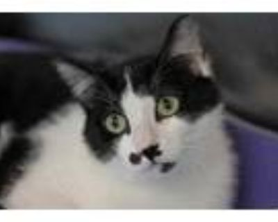 Adopt Milo a All Black Domestic Shorthair / Domestic Shorthair / Mixed cat in