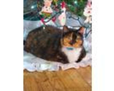 Adopt Lexie aka Fatty a Brown or Chocolate (Mostly) Calico / Mixed cat in