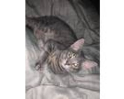 Adopt Zoey a Spotted Tabby/Leopard Spotted Domestic Shorthair / Mixed cat in