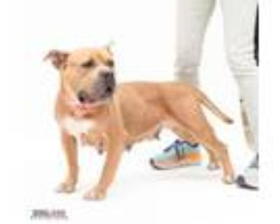 Adopt Princess Leia a Pit Bull Terrier, Mixed Breed