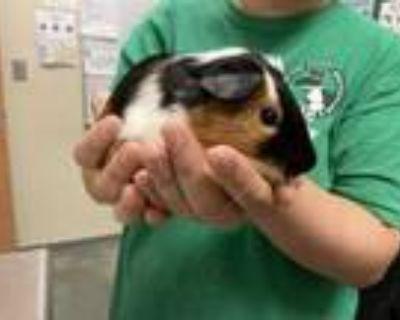 Adopt Roadhog w/ Reinhardt a Black Guinea Pig / Guinea Pig / Mixed small animal