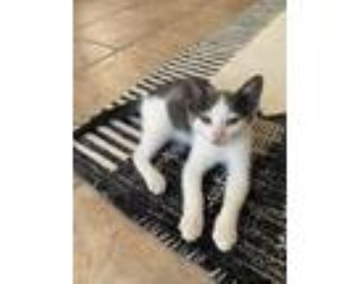 Adopt Huracan a Gray or Blue (Mostly) Domestic Shorthair / Mixed cat in