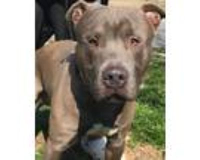 Adopt Blue a Gray/Blue/Silver/Salt & Pepper Pit Bull Terrier / Mixed dog in