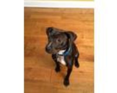 Adopt Coco a Brown/Chocolate - with White American Pit Bull Terrier / Terrier